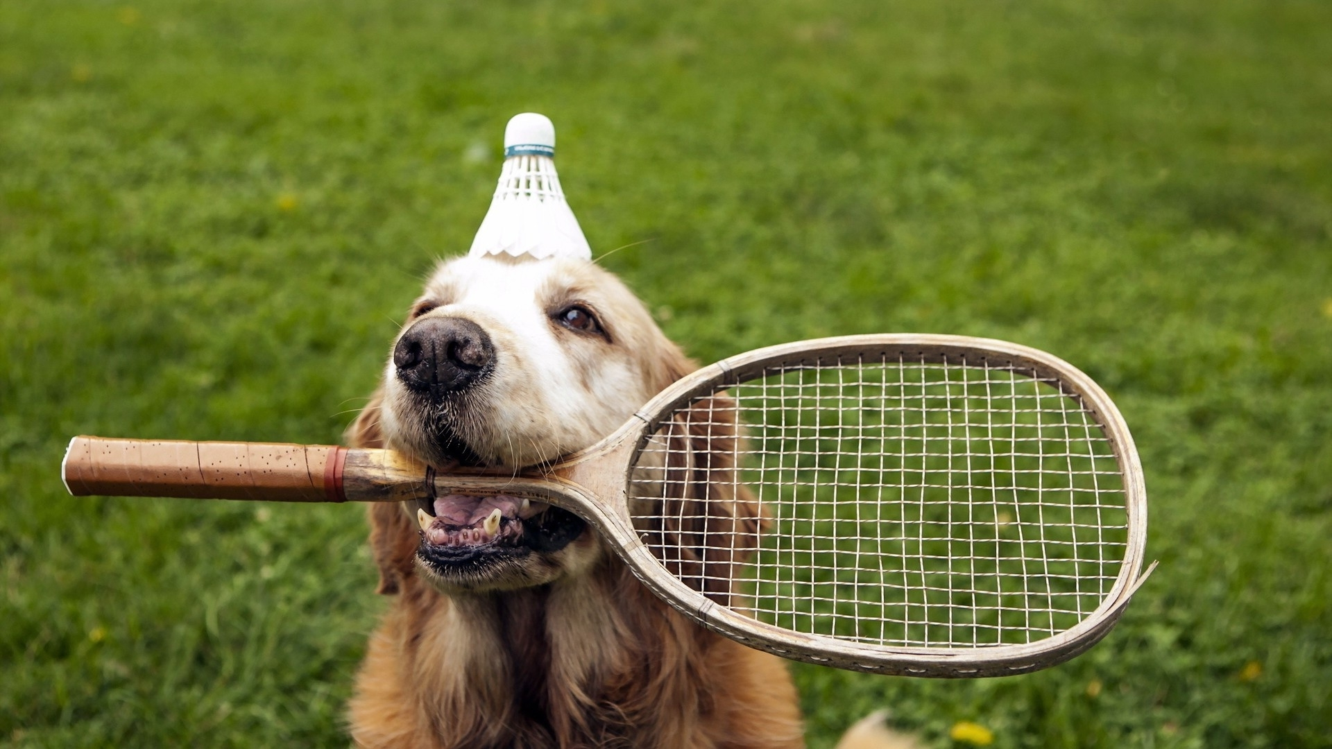 badminton dog